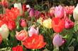 multicolored tulips in a field