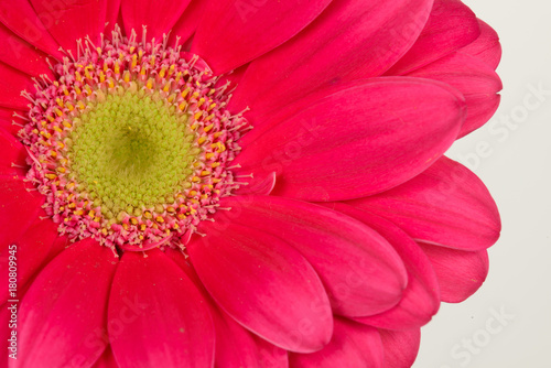 Fotobehang Gerbera Pink Gerbera Close Up