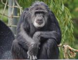 Chimpanzee Looking at the Camera - 180811165