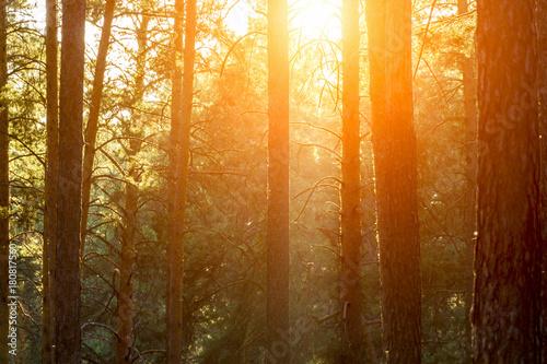 Plexiglas Lente Evening sunset in a pine forest close-up.