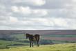 Wild Exmoor ponies on Countisbury, North Devon