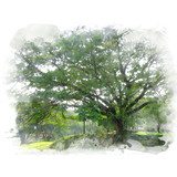 The giant green rain tree (East Indian walnut). Watercolor painting (retouch). - 180831730
