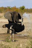 Elephant spraying water to an ostrich