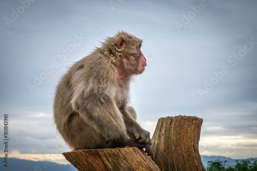 Fotobehang Aap Japanese macaque on a trunk, Iwatayama monkey park, Kyoto, Japan