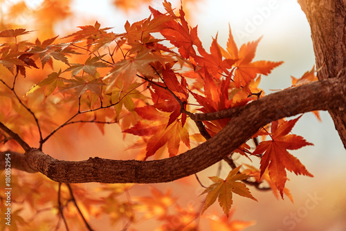 Foto op Canvas Baksteen Maple tree in autumn at Nami island, South Korea.