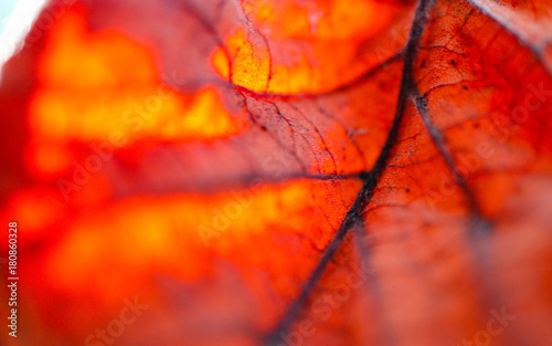 Bright sunny red leaf macro view, autumn background. Leaf veins close up, fall backdrop. - 180860328