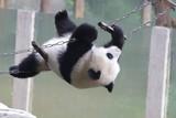 Acrobat Panda on the String