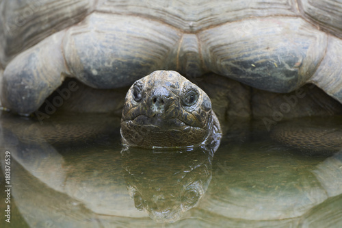 Fotobehang Schildpad Aldabra giant tortoise (Aldabrachelys gigantea)