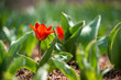 Red tulips blooming in a spring garden - selective focus