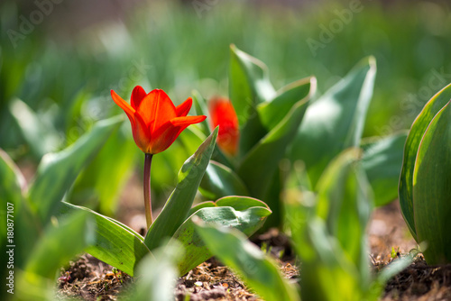 Plexiglas Tulpen Red tulips blooming in a spring garden - selective focus