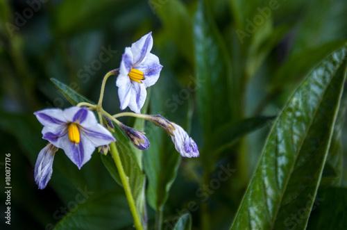Fotobehang Iris Pepino dulce