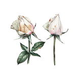 Roses and leaves, watercolor, can be used as greeting card, invitation card for wedding, birthday and other holiday and  summer background - 180877564