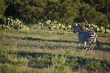 Zebra Running in the Wild