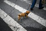 New york dog crosses road