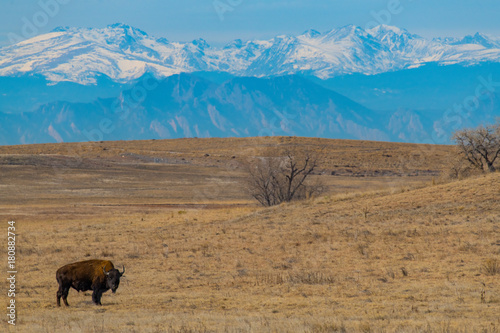 Papiers peints Bleu jean American Bison Grazing on the Colorado Prairie with a Mountain View