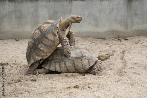 Fotobehang Schildpad Sulcata Tortoises mating or having sex from behind
