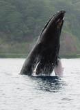baleines à bosses et baleineaux en Polynésie