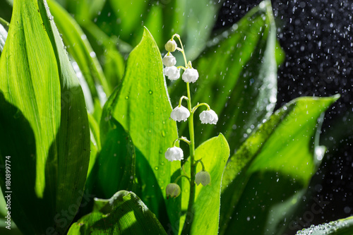 Fotobehang Lelietjes van dalen Beautiful lily of the valley flowers in green blur bokeh nature background, spring concept.