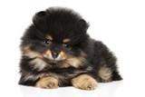 Pomeranian Spitz puppy - 180903919