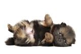 Tiny Pomeranian Spitz puppy resting