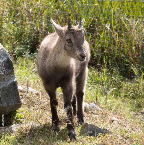 Fotobehang Kangoeroe cute ibex canada