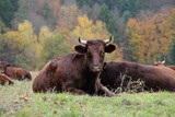 easy living, brown cows lying in the gras