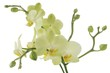 orchid Phalaeopsis close up