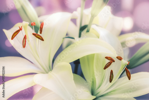 White and green lilies with pink and purple, bokeh background Poster