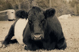 Cute farm cow laying down being lazy, shows Belted Galloway on agriculture farm.  Great rustic rural image of cattle industry.
