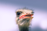 Funny ostrich: hairy and with big eye - 180926530