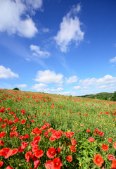 Summer landscape with poppy fields