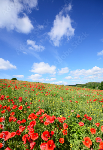 Summer landscape with poppy fields