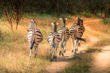 Zebras walking - safari in Senegal