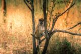 Monkey - Senegal's safari - 180927741
