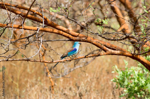 Little blue bird watched during a safari in Senegal