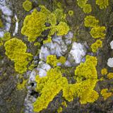 Flechten auf einem Stein am Meer, Nordirland
