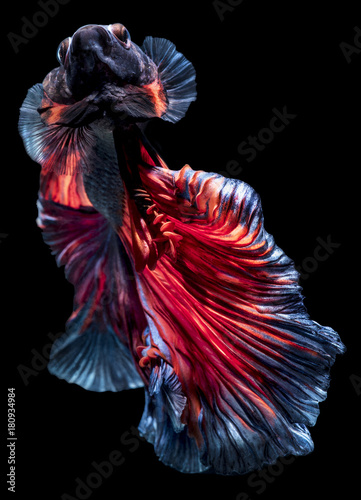 Fotobehang Iris Bettafish movement with clipping path on dark background