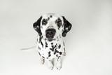 Dalmatiner Weitwinkelaufnahme im Studio