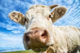 Cow close-up - 180939352