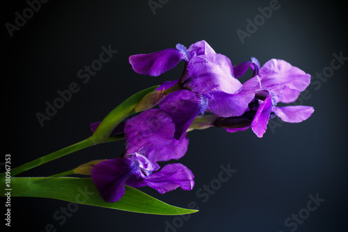 Plexiglas Iris Flower purple iris