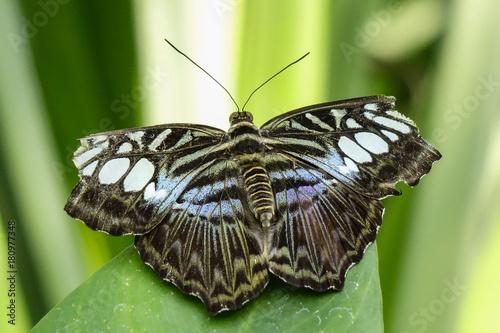 Fotobehang Vlinder Tropical Butterfly, Blue Clipper