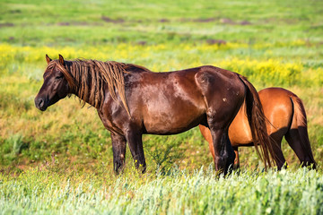 Pair of wild horses grazing on summer meadow