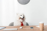 samoyed dog in necktie at workplace - 180982762