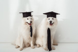 dogs in graduation hats - 180983322