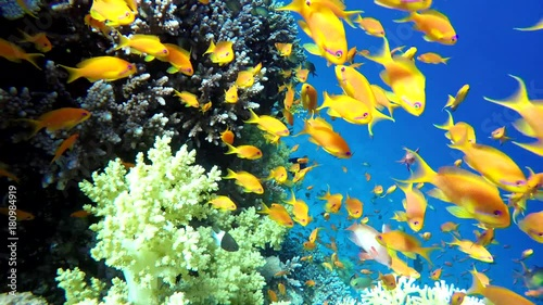 Diving. Tropical fish and coral reef. Underwater life in the ocean.