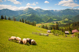 Black sheep among white on a green pasture in the mountains. Young sheep graze on the farm. - 180989521