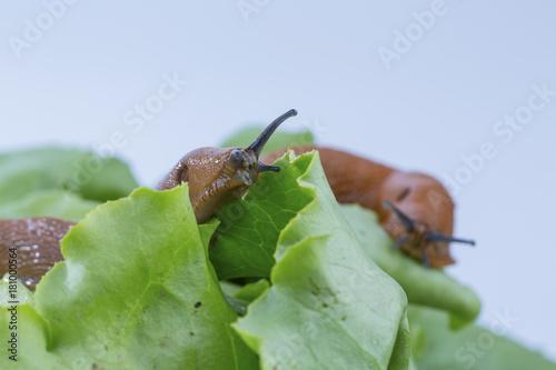 Leinwanddruck Bild snail with lettuce leaf