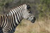 Common Zebra, South, Africa