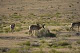 Pronghorn Antelope on the Utah dessert