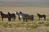 Wild horses on a Utah dessert